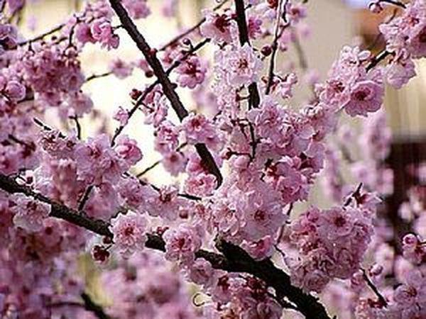 Праздник цветущего миндаля | Ярмарка Мастеров - ручная работа, handmade