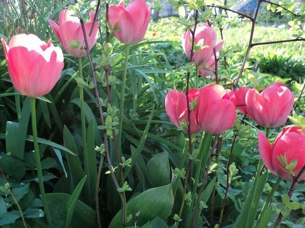 Cosa nostra Tulipa | Ярмарка Мастеров - ручная работа, handmade