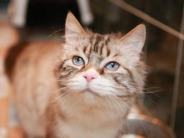 Очаровательный голубоглазый кот ищет новый дом! | Ярмарка Мастеров - ручная работа, handmade