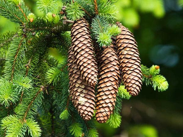 Елки-палки или магические свойства деревьев.   Ярмарка Мастеров - ручная работа, handmade