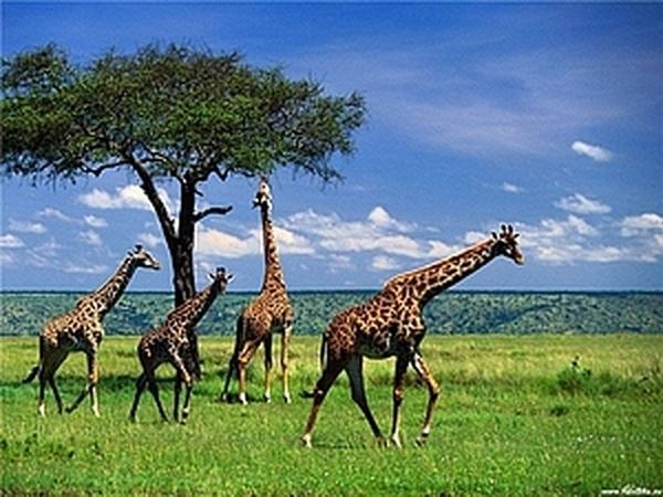 Иногда доходит как до жирафа... | Ярмарка Мастеров - ручная работа, handmade