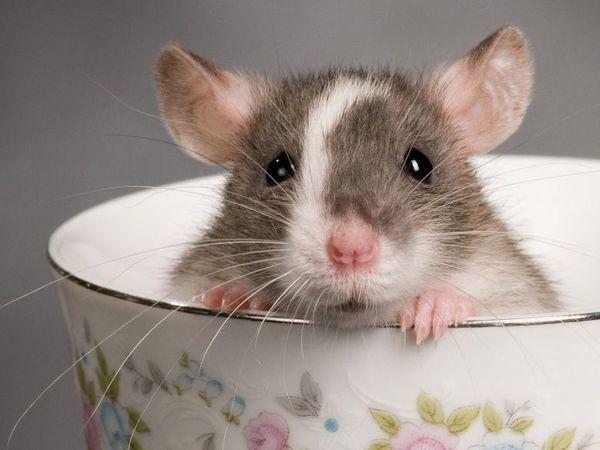 Хозяева декоративных крыс! Мне очень нужна консультация! | Ярмарка Мастеров - ручная работа, handmade