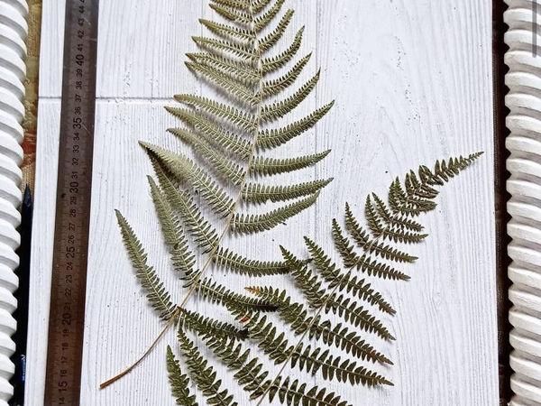 Листья папоротника стабилизированные | Ярмарка Мастеров - ручная работа, handmade