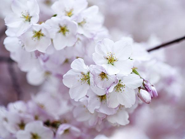 В Японии официально открылся сезон цветения сакуры + подборка идей для творчества | Ярмарка Мастеров - ручная работа, handmade
