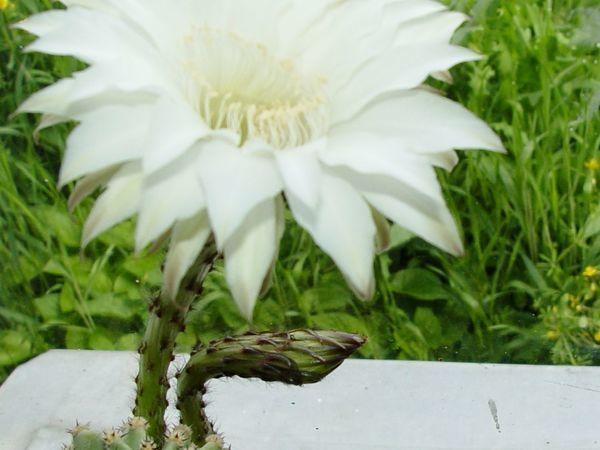А у нас кактус зацвел... Вот!   Ярмарка Мастеров - ручная работа, handmade