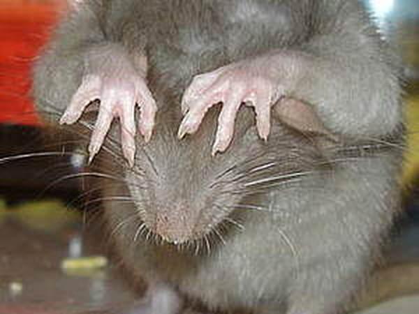 Боитесь крыс? Давайте избавляться от этой фобии! | Ярмарка Мастеров - ручная работа, handmade