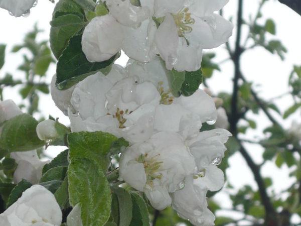 Яблони в цвету я не забуду   Ярмарка Мастеров - ручная работа, handmade