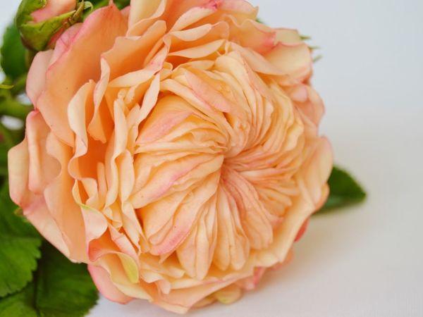 Английская роза .Ветка | Ярмарка Мастеров - ручная работа, handmade