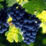 loza-vinograda