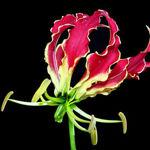 gloriosaflowersfoam