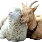 wool-fluff