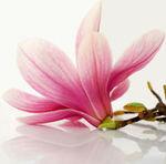 magnoliaru